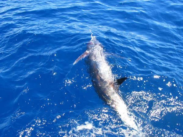 marlin released